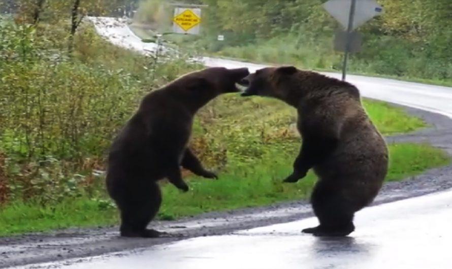 Pelea de osos en Canadá | VÍDEO VIRAL