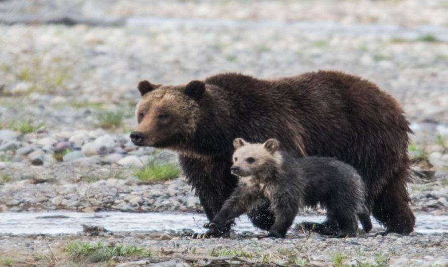 Vídeo viral de un oso siendo rescatado por su familia en la mitad de la carretera